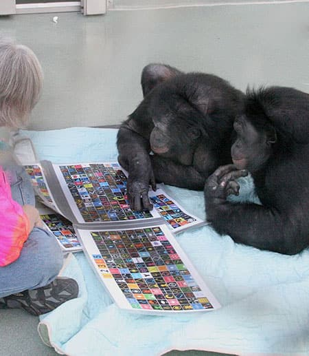 Panbanisha and Kanzi the bonobos